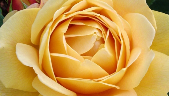Golden Wedding Roses