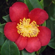 SCENTED RED CAMELLIA
