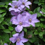 CLEMATIS HAPPY ANNIVERSARY