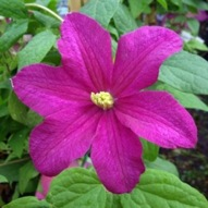 CLEMATIS REMEMBRANCE
