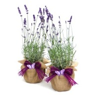 PAIR OF ENGLISH LAVENDERS