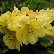 RHODODENDRON GOLDEN WEDDING SPECIMEN