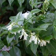 SCENTED EVERGREEN SHRUB