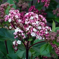 FRAGRANT  VIBURNUM