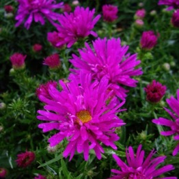 ASTER PURPLE DIAMOND
