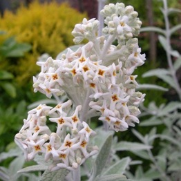 BUDDLEIA SILVER ANNIVERSARY Large
