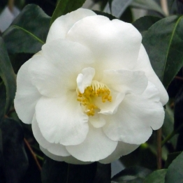 CAMELLIA CHINA CLAY