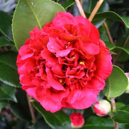A BEAUTIFUL  RED CAMELLIA