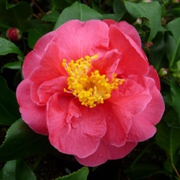 CAMELLIA DIAMOND HEAD