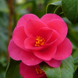 RED FLOWERING CAMELLIA