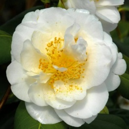CAMELLIA SILVER ANNIVERSARY LARGE