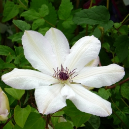 CLEMATIS WHITE PEARL
