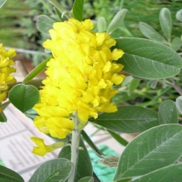 SCENTED PINEAPPLE BROOM