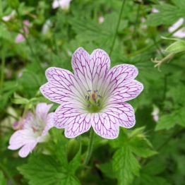 GERANIUM LACE TIME