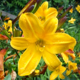 HEMEROCALLIS GOLDEN CHIMES