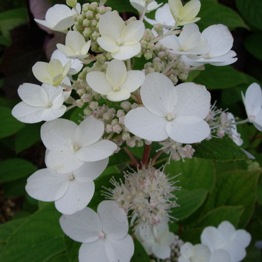 A BEAUTIFUL WHITE HYDRANGEA