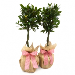 PAIR MINI BAY TREES