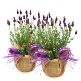BEAUTIFUL PAIR OF FRENCH LAVENDERS