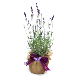 SCENTED ENGLISH LAVENDER