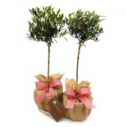 PAIR MINI OLIVE TREES
