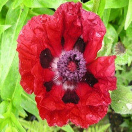 PAPAVER ROYAL CHOCOLATE DISTINCTION