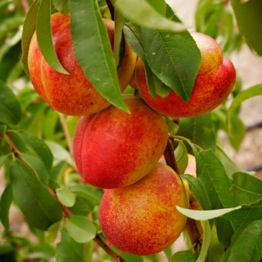 PATIO NECTARINE RUBY
