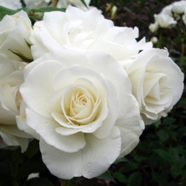 PATIO STD THE DIAMOND WEDDING ROSE
