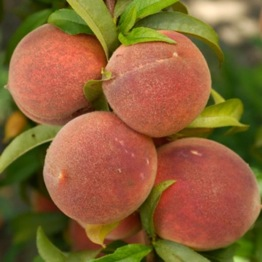 PATIO PEACH TREE