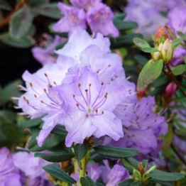 RHODODENDRON (BLUE)SAPPHIRE FLOWERS