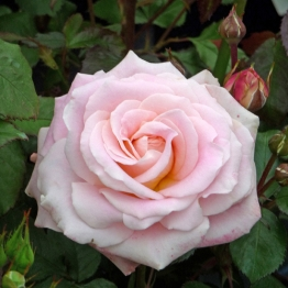 ROSE FABULOUS AT 65