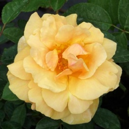ROSE FABULOUS AT 70 ®