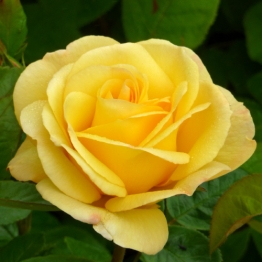 ROSE GOLDEN YELLOW ROSE