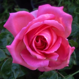 ROSE HERE'S SAM