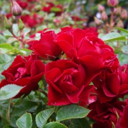 ROSE RUBY WISHES