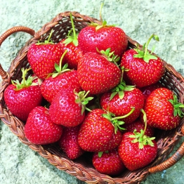 STRAWBERRY LUCY 4 Plants