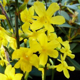YELLOW FLOWERING JASMINE