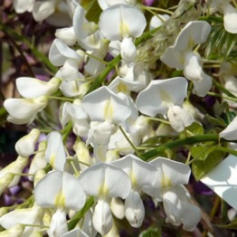 WISTERIA WHITE SILK