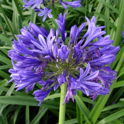 BLUE AFRICAN LILY