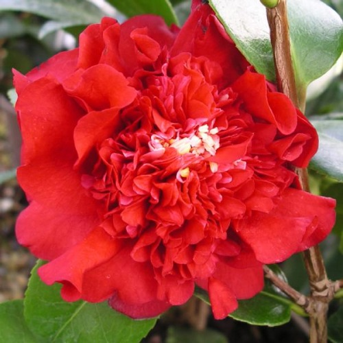 CAMELLIA RUBY WEDDING medium