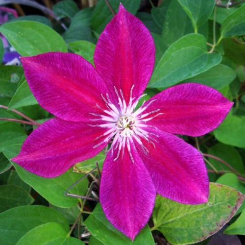 CLEMATIS RUBY WEDDING
