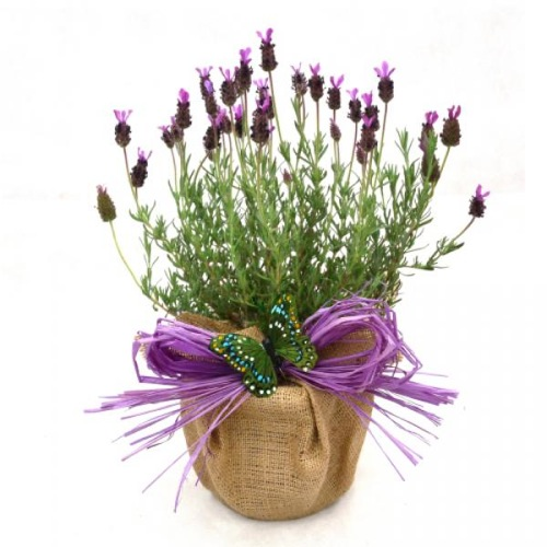 POT OF FRENCH LAVENDER