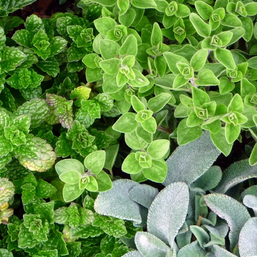 AROMATIC HERB SELECTION