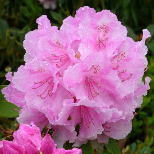 RHODODENDRON PINK PEARL
