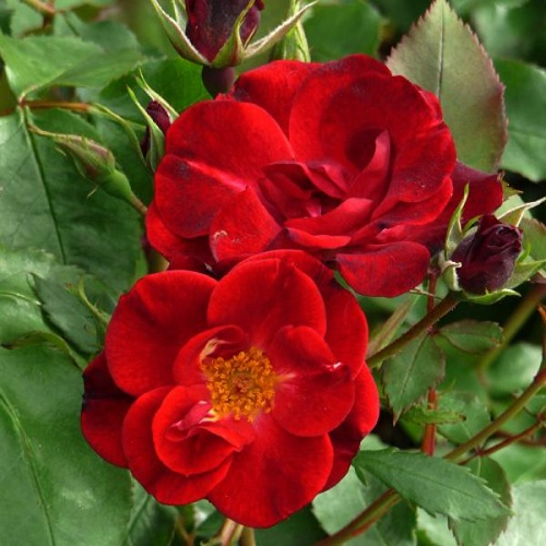 ROSE CHEERFUL CHARLIE