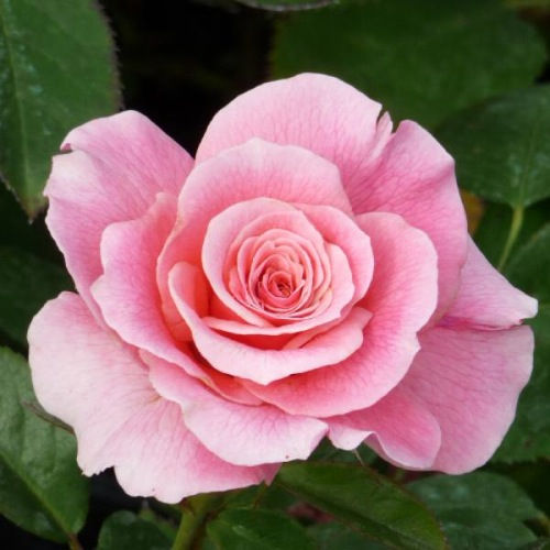 ROSE TICKLED PINK