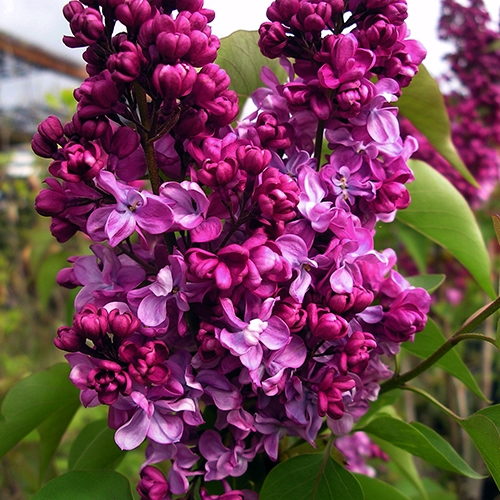 SCENTED LILAC PLANT