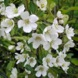 MALUS WEDDING BOUQUET